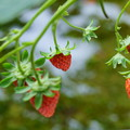 Photos: 鉢植えのイチゴ