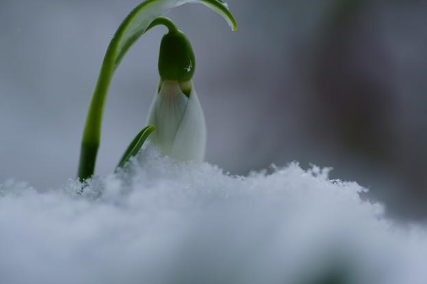 スノードロップ  「雪のしずく」