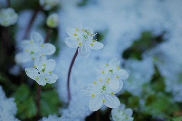 梅花黄蓮     雪