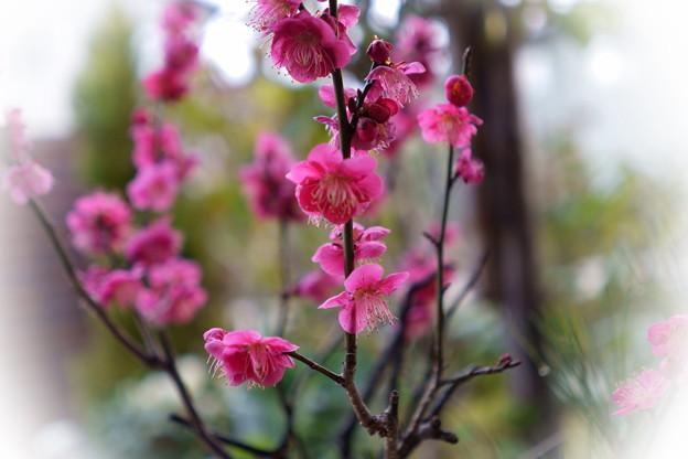 鉢植えの紅梅が満開に