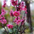 Photos: 鉢植えの紅梅が満開に