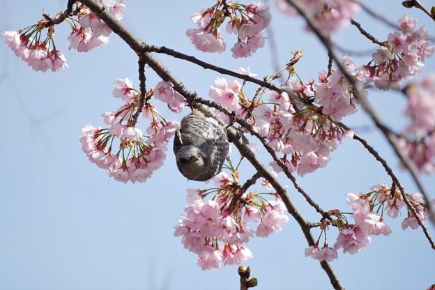 P9950680-河津桜にヒヨドリ