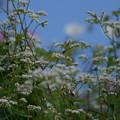 DSC02276-蕎麦の花