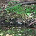 DSC05785-キビタキ幼鳥&メジロ