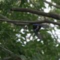 DSC00384-オオルリ成鳥♂