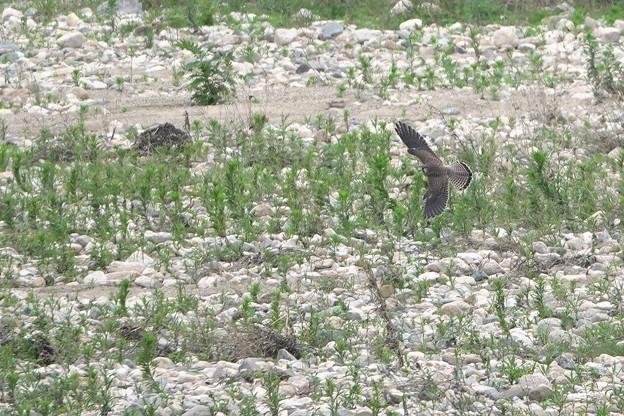 Photos: DSC02459 (チョウゲンボウ) 近くに来てくれそうやったんやけど…(^_^;)