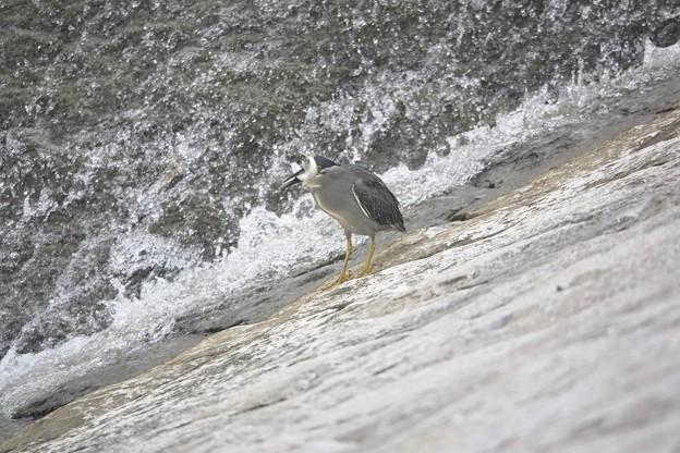 Photos: DSC03127 ササゴイのオイカワ漁 無着色(^_^;)