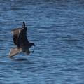 Photos: DSC01268 (トビ) トビの漁は…