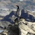 Photos: ウミウの羽模様