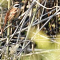 写真: 草叢に隠れていたホウジロ