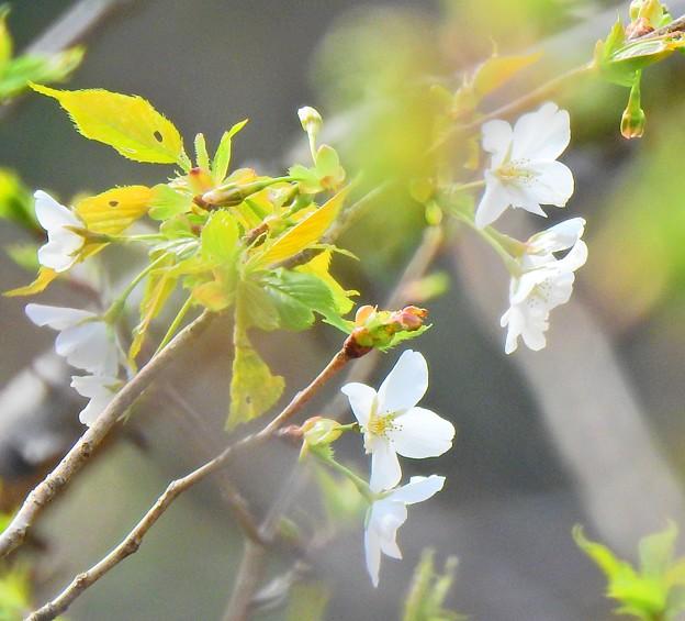 古びとの愛した桜(4)