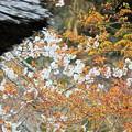 Photos: 古桜