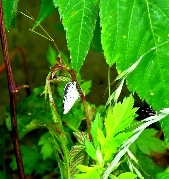 Photos: 路傍の蝶