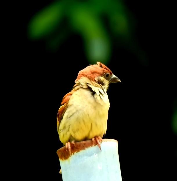 爺の託宣鳥