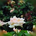 孤高のバラ
