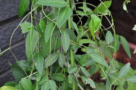 不明ツル植物 170809_2