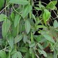 写真: 不明ツル植物 170809_2