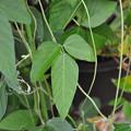 写真: 不明ツル植物 170809_1