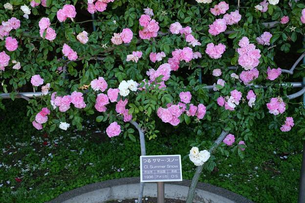写真: ツルサマースノー(神代植物公園)20180520_1