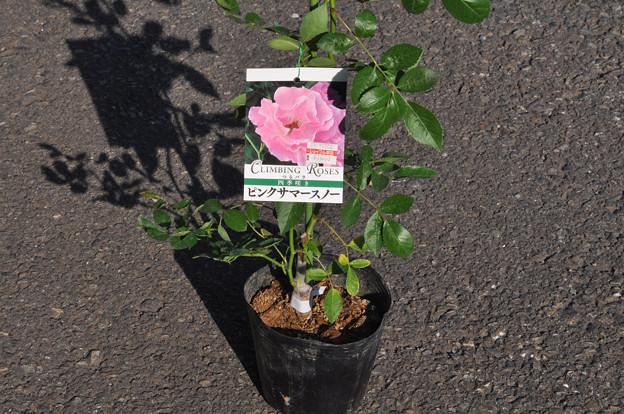 ピンク・サマースノー20180522_1