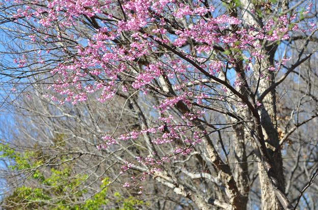 桜 20190324_3