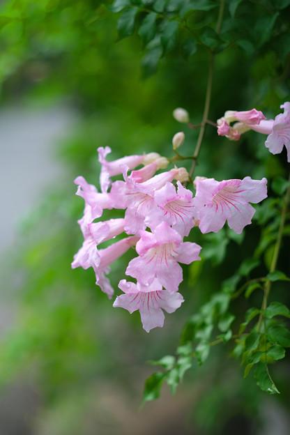 ピンク・ノウゼンカヅラ 20190916_1