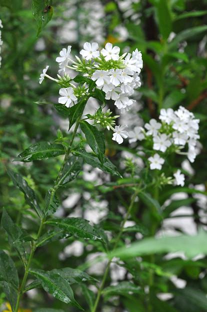 白花オイランソウ 20200710_3