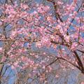 河津桜 20210223_2