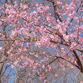 Photos: 河津桜 20210223_2
