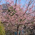 河津桜 20210223_1