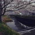 写真: 月夜桜