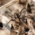 写真: コモリグモの仲間