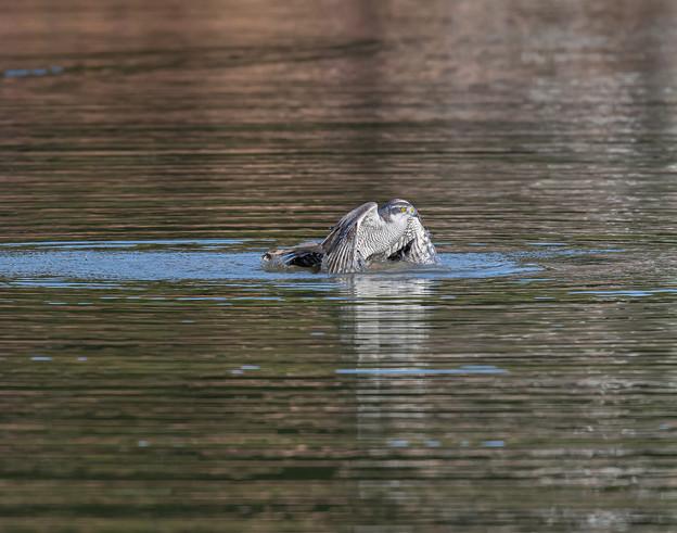 Photos: 僅かに見えるオオバンの尾羽