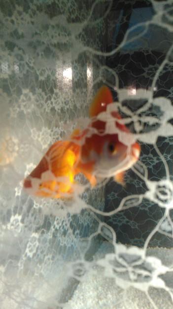 レース越しの金魚