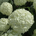 Photos: 白陽花。