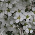 白く小さな花
