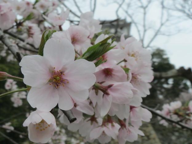 Photos: 桜越し