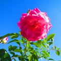 Photos: 真っ青に真ピンク!