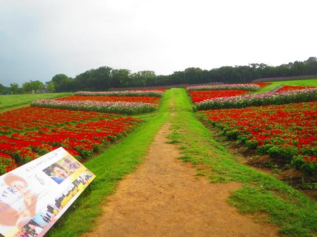 雨の中のサルビア畑