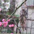 ミノムシと紅梅