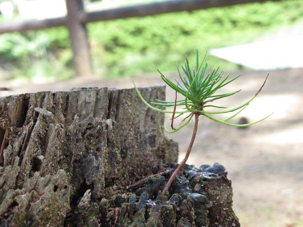 伐採木に新芽