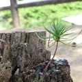 Photos: 伐採木に新芽