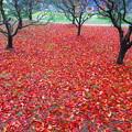 Photos: 赤いじゅうたん