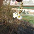 咲き始めた
