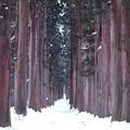 写真: 戸隠神社 奥社参道杉並木