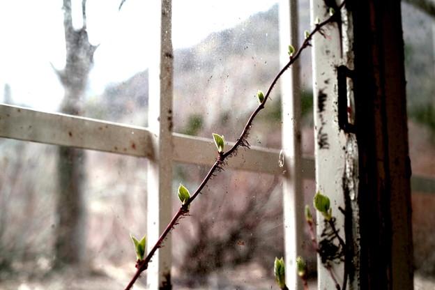 Photos: 芽吹き