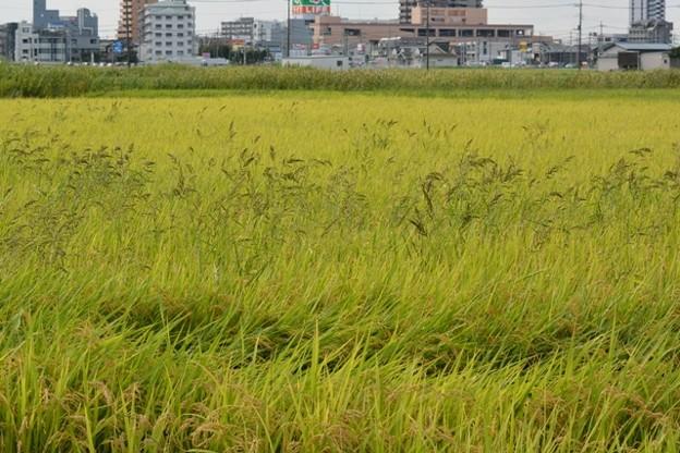 2017年9月13日 047.jpg草の中で育つ稲