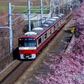 写真: 河津桜と電車