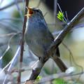 Photos: 春告鳥