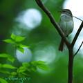 写真: 鶯-2
